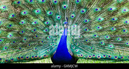 Colourful peacock bird with wide opened tail full of long feathers standing on a green grass. Stock Photo
