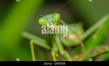 Cute little (female) mantis - and she was rather curious about this flashing light in her eyes... - Stock Photo