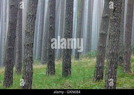 Scots Pine (Pinus sylvestris) tree trunks in coniferous forest in the mist - Stock Photo