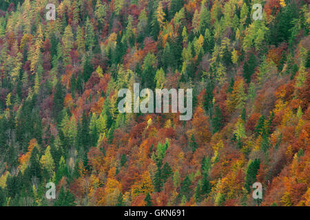 Mixed forest showing foliage of deciduous trees in colourful autumn colours - Stock Photo