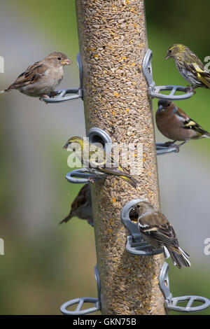 Several birds on large bird feeder Bwlch Nant Yr Arian Visitor Centre Ceredigion Mid Wales - Stock Photo