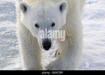 Face of  Polar Bear in close up