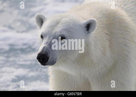 Face of  Polar Bear in close up - Stock Photo