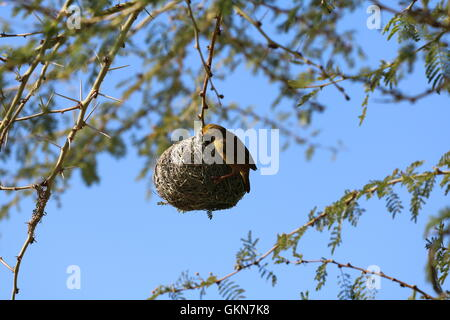 Ploceidae (weaver bird) building a nest Rietvlei Cape Town South Africa