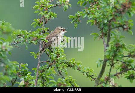 Sedge warbler- acrocephalus schoenobaenus in song. Spring. Uk - Stock Photo