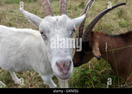 Goats with horns, Czech Republic - Stock Photo