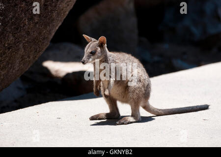 Allied Rock Wallaby (Petrogale assimilis) on Magnetic Island, Queensland - Stock Photo
