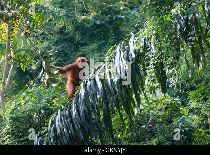 young Sumatran Orangutan (Pongo abelii) in rainforest in Bukit Lawang, Sumatra - Stock Photo