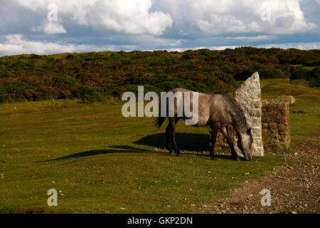 Grey Hill pony grazing around a granite post on hayTor's top car park looking towards Pinchaford Ball - Stock Photo