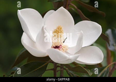 Southern magnolia flower - Stock Photo