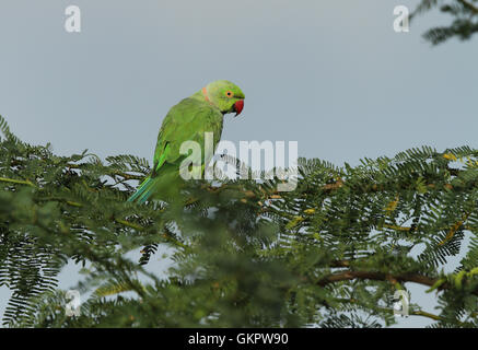 Green parrot sitting on tree branch with blue sky. Rose-ringed Parakeet, beautiful green parrot in  nature green - Stock Photo