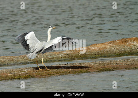 Grey Heron on the side of a lake in summer. - Stock Photo