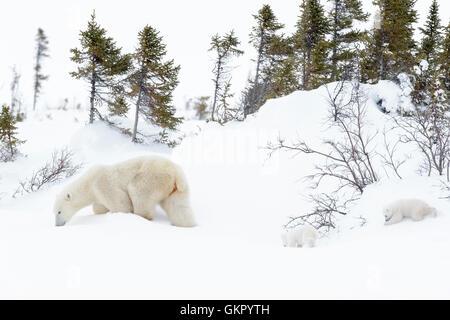 Polar bear mother (Ursus maritimus) walking on tundra with two new born cubs, Wapusk National Park, Manitoba, Canada - Stock Photo