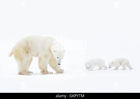 Polar bear mother (Ursus maritimus) standing on tundra with two new born cubs, Wapusk National Park, Manitoba, Canada - Stock Photo