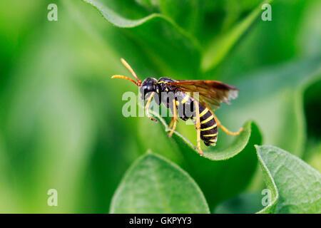 Figwort Sawfly Tenthredo scrophulariae adult on a plant leaf - Stock Photo