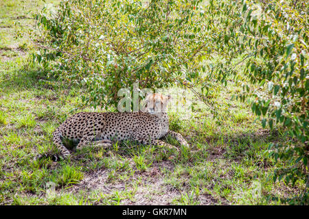 cheetah relaxing in the daytime heat, sheltering from the sun - Stock Photo