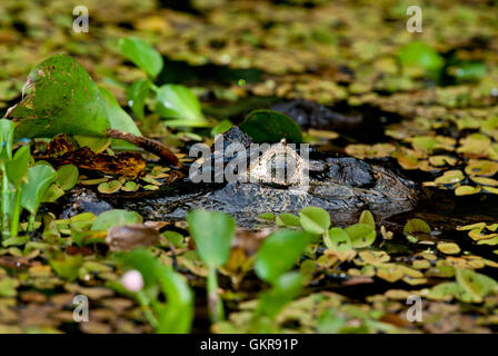 Close-up head shot of a Yacare caiman (Caiman yacare) in a pond in the Pantanal, Brazil - Stock Photo