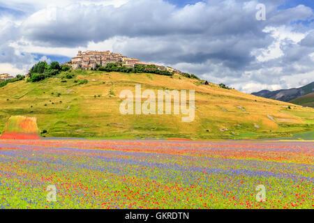 Field of wildflowers, Castelluccio di Norcia, Piano Grande, Monti Sibillini National Park, Umbria, Italy - Stock Photo