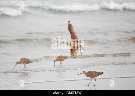 Long billed Curlew - Stock Photo