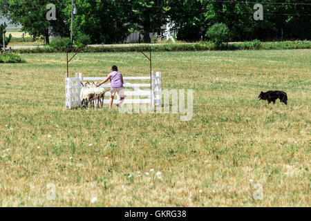 Handler penning sheep at the Canadian Sheepdog Trials in Woodville, Ontario, Canada - Stock Photo