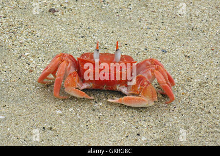 Galapagos ghost crab on Isabela Island walking at the sandy beach - Stock Photo