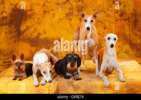 Yorkshire Terrier, Miniature Wirehaired Dachshund and Whippet Yorkshire Terrier, Zwergrauhaardackel und Whippet - Stock Photo