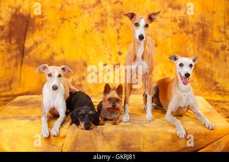 Yorkshire Terrier, Miniature Wirehaired Dachshund and Whippet|Yorkshire Terrier, Zwergrauhaardackel und Whippet - Stock Photo