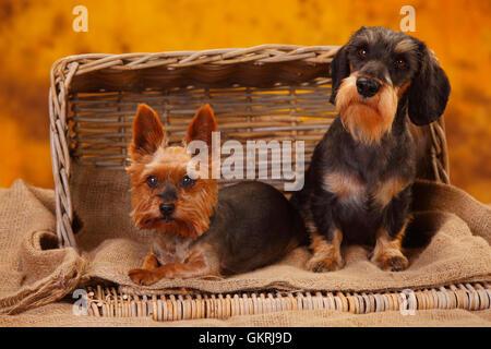 Yorkshire Terrier and Miniature Wirehaired Dachshund|Yorkshire Terrier und Zwergrauhaardackel - Stock Photo