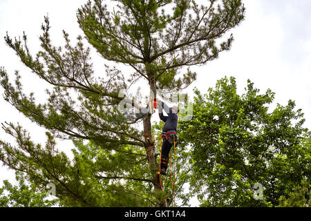 Professional Tree trimmer cutting the top off a tall pine tree on a cloudy day - Stock Photo