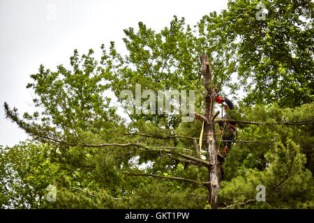 Professional Tree trimmer cutting down a large pine tree - Stock Photo