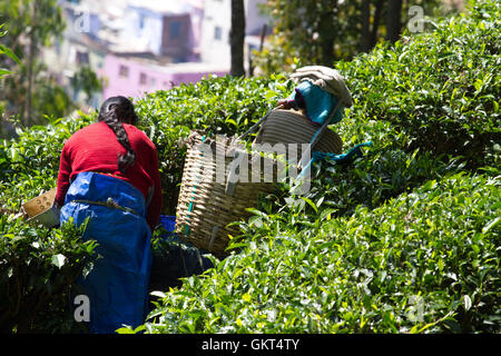 Coonoor , Tamil Nadu, India, March 22, 2015: Unidentified woman collect tea from plantation - Stock Photo