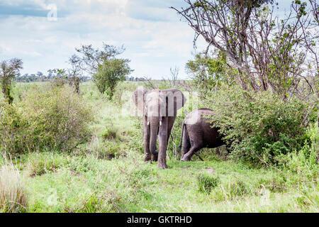 African Elephant taken in Massai Mara, Kenya. - Stock Photo