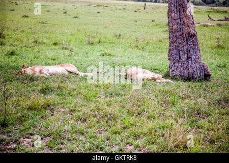 Two lions shade from the sun during the day inside the massai mara game reserve, Kenya - Stock Photo