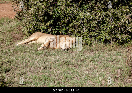 A lion lays in the grass inside the massai mara game reserve, kenya - Stock Photo