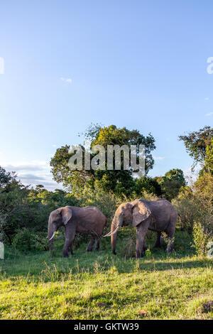 African Elephant's taken in Massai Mara, Kenya. - Stock Photo