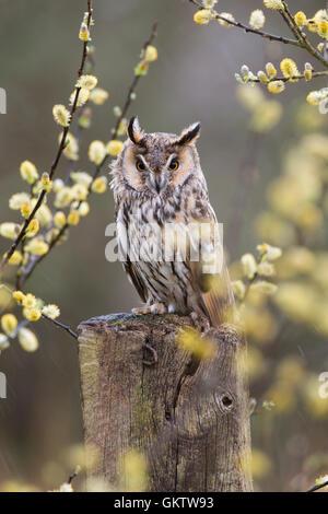 Long Eared Owl; Asio otus Single in Willow Cornwall; UK - Stock Photo