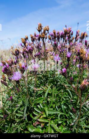 Saw-Wort; Serratula tinctoria Flowers Cornwall; UK - Stock Photo