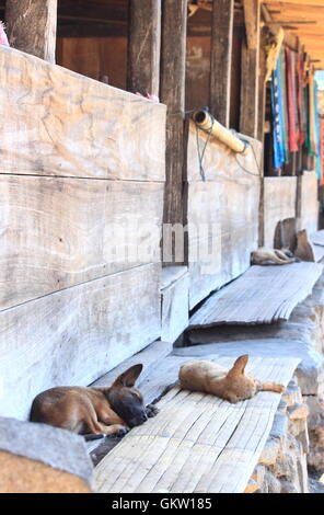 Skinny dogs in Bena traditional village Flores Indonesia - Stock Photo