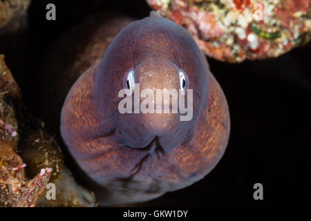 White-eyed Moray, Siderea thyrsoidea, Bali, Indonesia - Stock Photo