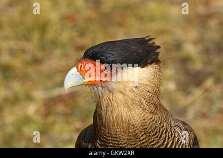 Portrait of a southern crested caracara in Patagonia, Chile - Stock Photo