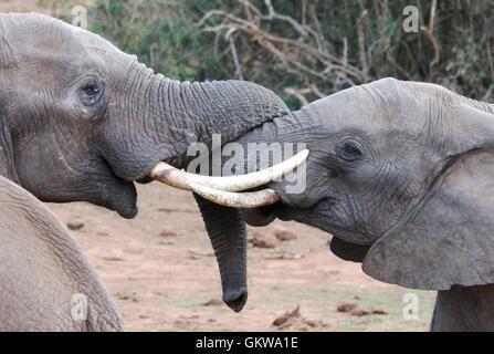 African Elephant Tussle - Stock Photo