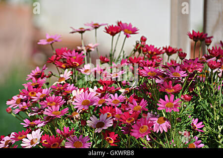 red daisies in the garden - Stock Photo