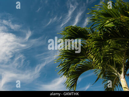 A palm tree is viewed against a sky full of stratus clouds on a sunny 'tourist season' day in southwest Florida, - Stock Photo