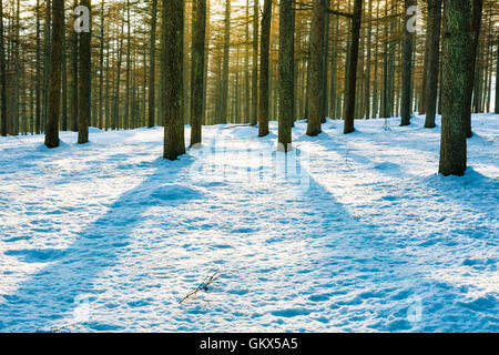 European larch forest in winter. - Stock Photo