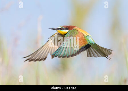 European Bee-eater (Merops apiaster) in flight over a meadow - Stock Photo