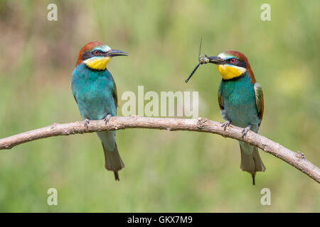 A pair of courting European Bee-eater (Merops apiaster), male presenting female with a dragonfly - Stock Photo