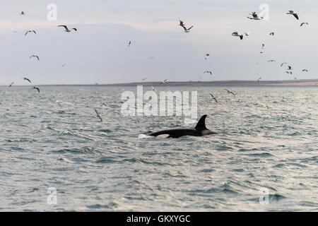 Killer whale, orca ('Orcinus orca') near  Grundarfjörður, a town in the north of the Snaefellsnes peninsula, west - Stock Photo