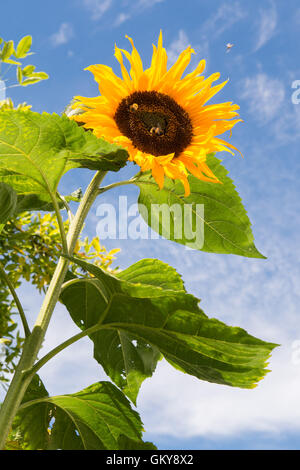 Stirlingshire, Scotland, UK. 24th August 2016. UK weather: bumblebees drawn to a giant sunflower on a bright sunny - Stock Photo