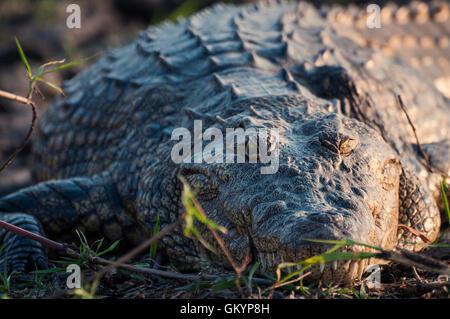 Nile crocodile in the banks of the Chobe river, Chobe National Park, in Botswana, Africa; - Stock Photo