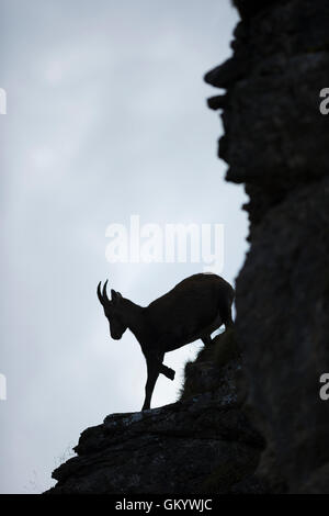 Alpine ibex / Steinbock / Alpensteinbock ( Capra ibex ), nice silhouette of a female,  climbing down a steep rocky - Stock Photo